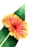Gerbera watercolor ελεύθερη απεικόνιση δικαιώματος