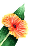 Gerbera. Watercolor Stock Images