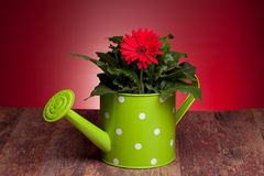 Gerbera And Watering Can Stock Image