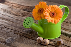Gerbera in watering can with copy space Royalty Free Stock Photos
