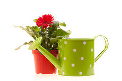 Gerbera And Watering Can On White Royalty Free Stock Photos