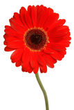 Gerbera on white. Vivid red gerbera isolated on a white background Stock Photo