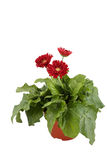 Gerbera on white background. Gerbera daisy flowers bouquet on white background Royalty Free Stock Photography