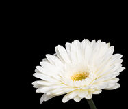 Gerbera. A white gerbera daisy isolated on a black background royalty free stock images