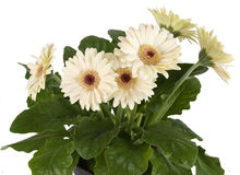 Gerbera white in flowerpot. Gerbera white flower in flowerpot Stock Photos