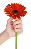 Gerbera in woman's hand Royalty Free Stock Image