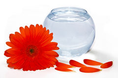 Gerbera y florero Foto de archivo libre de regalías