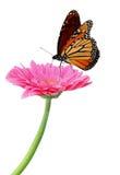 Gerbera y monarca Fotos de archivo libres de regalías