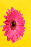 Gerbera on yellow Stock Image