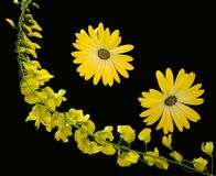 Two yellow flowers with laburnum sprig royalty free stock photos