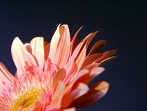 Gerbera6 Royalty Free Stock Photos
