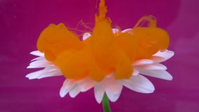 Gerberabloem en oranje inktwolk in water op purpere achtergrond stock video