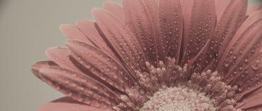 Gerberabloem met waterdruppeltjes royalty-vrije stock afbeeldingen