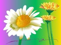 Gerberabloem van Daisy Stock Afbeeldingen