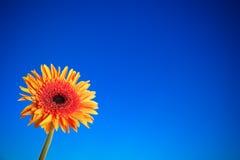 Gerberablomma i blå bakgrundsbakgrund Fotografering för Bildbyråer