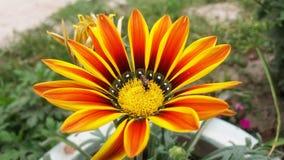 Gerberablomma med biet Arkivbild