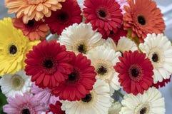 Gerberablommor av den olika former och färgnärbilden royaltyfri foto