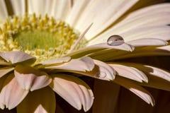 Gerberablume mit Wassertropfen auf dem Blumenblatt Lizenzfreie Stockfotos