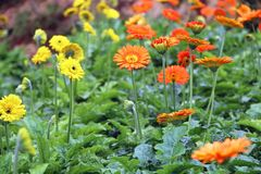 Gerberaen blommar blomningar Arkivfoton