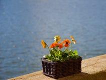 Gerberaen blommar Porto Portugal Arkivbild