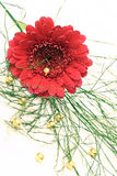 Gerberaflowerarrangement. Red blossom of a gerbera with baby's breath and golden pearls Stock Photography