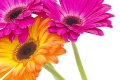Gerberagänseblümchen Lizenzfreie Stockbilder