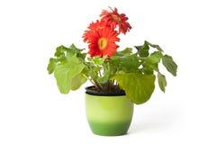 Gerberagänseblümchen im Flowerpot stockbilder
