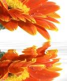 Gerberagänseblümchen mit Reflexionen Lizenzfreie Stockfotos