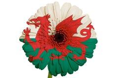 Gerberagänseblümchenblume in der Flagge von Wales stockbilder