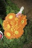 Gerberajamesonii Stock Fotografie
