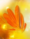 Gerberakronbladen Royaltyfri Fotografi