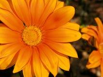 Gerberamadeliefje het groeien in de tuin Stock Foto's