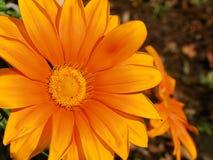 Gerberamadeliefje in schaduwen die van sinaasappel de zon onder ogen zien Royalty-vrije Stock Fotografie
