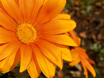 Gerberamadeliefje in schaduwen die van sinaasappel de zon onder ogen zien Stock Fotografie