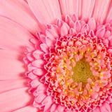 gerberapink Fotografering för Bildbyråer