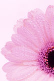 gerberapink Royaltyfria Bilder