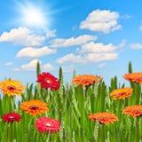 Gerberas в лужке на солнечный день Стоковые Фото