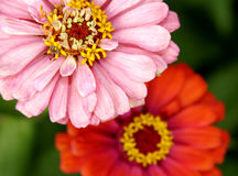 Gerberas Stock Photography