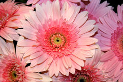 Gerberas Royalty Free Stock Photo