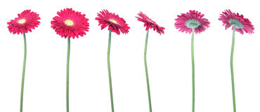 Gerberas Stock Photo