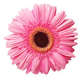 Gerberas Royalty Free Stock Images