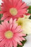 Gerberas Stock Photos