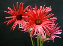 Gerberas stockfotos