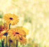 Gerberas amarelos Fotografia de Stock Royalty Free