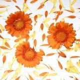 Gerberas arancioni con i petali Fotografia Stock Libera da Diritti