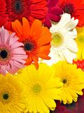 Gerberas Background Royalty Free Stock Photography