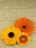 Gerberas background. Neutral fabric texture background with orange and yellow gerbera flower heads, copy space Royalty Free Stock Photography