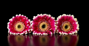 Gerberas on a black background Royalty Free Stock Photos
