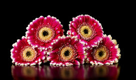 Gerberas on a black background Royalty Free Stock Image