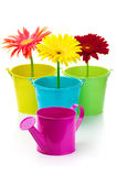 Gerberas in buckets Royalty Free Stock Photo